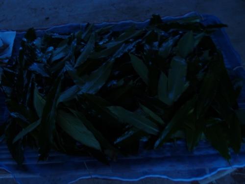 амомум желтоватый | Amomum xanthioides Wall