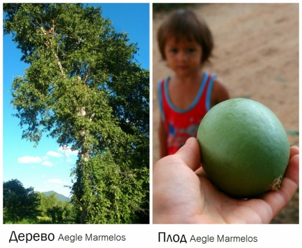 дерево баиль Aegle Marmelos