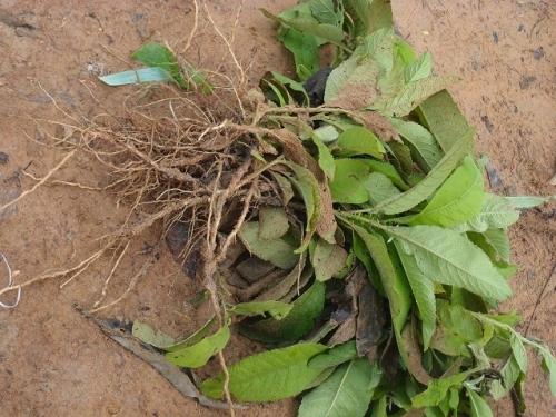 БЛЮМЕЯ КАМФОРНАЯ  | Blumea balsamifera  | ต้นหนาด