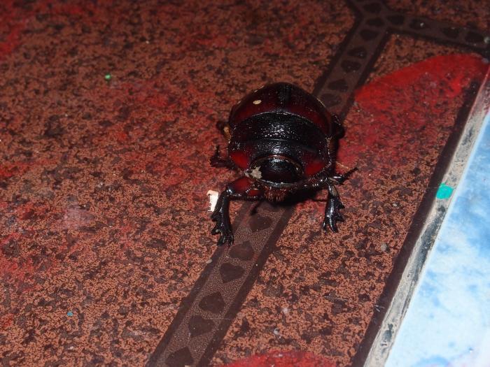 Жук скарабей / scarab