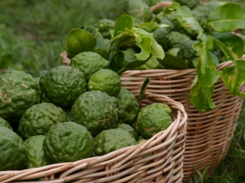 Каффир-лайм / лаймкват | Kaffir Lime Bai Makrut |ใบมะกรูด