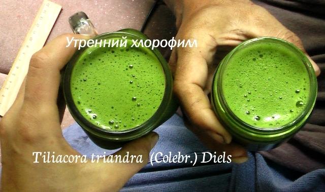 tiliacora  -  утренний хлорофилл зеленый смути Тилиакора трёхтычинковая противораковое, противовоспалительное растение