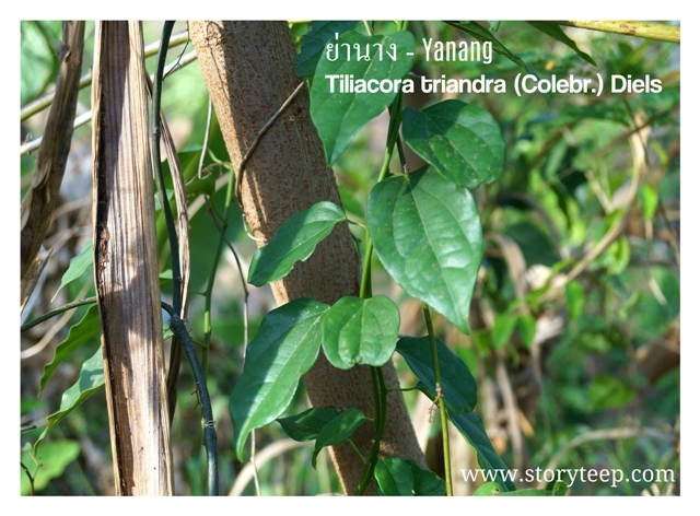 tiliacora  -  утренний хлорофилл зеленый смути Тилиакора трёхтычинковая противораковое, противовоспалительное