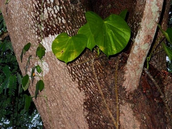 тиноспора или борапет   Thai medicinal herb Tinospora crispa vine