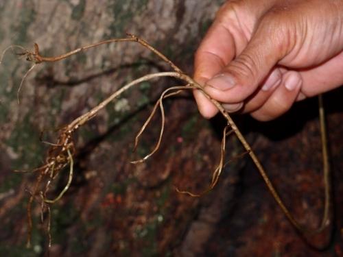 тиноспора или борапет  Tinospora crispa aerial roots