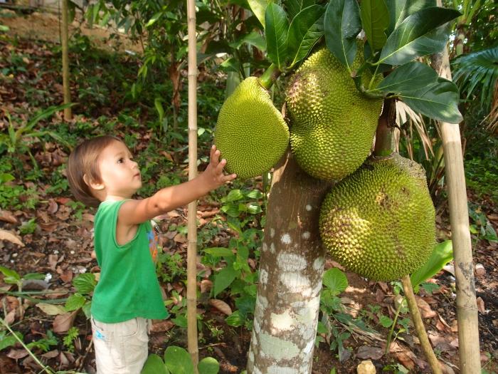 как растет  Джекфрут   Jackfruit tree