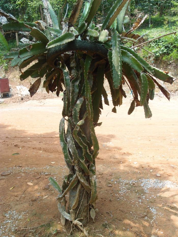 Как растет драконий фрукт | Dragon fruit (also Pitaya or Strawberry Pear)