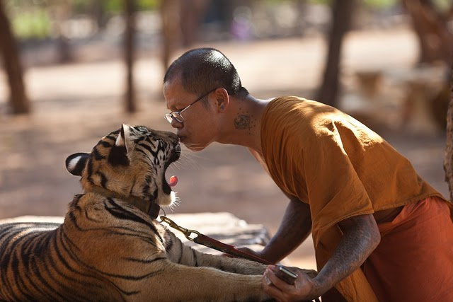 tiger kissing Tiger Temple Kanchanaburi Thailand